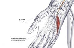 Мышца отводящая мизинец - сзади-латерально
