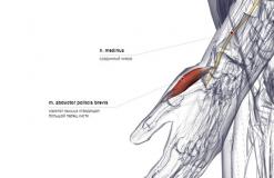 мышца отводящая большой палец кисти - сзади-латерально