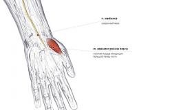 мышца отводящая большой палец кисти - спереди