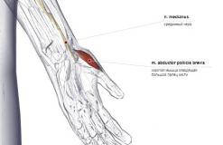 мышца отводящая большой палец кисти - спереди-медиально