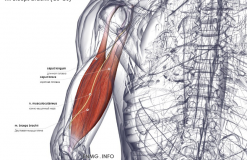 Двуглавая мышца - вид сзади
