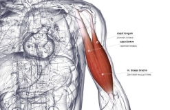 Двуглавая мышца - вид спереди