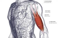 Двуглавая мышца - вид спереди-латерально