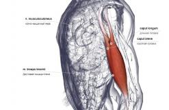 Двуглавая мышца - вид латерально