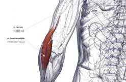 Плечелучевая мышца - сзади