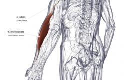 Плечелучевая мышца - сзади-латерально