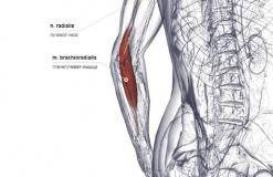 Плечелучевая мышца - сзади-медиально