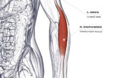 Плечелучевая мышца - спереди-латерально