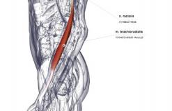 Плечелучевая мышца - латерально