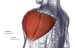 Дельтовидная мышца - сзади-латерально