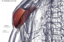 Дельтовидная мышца - сзади-медиально