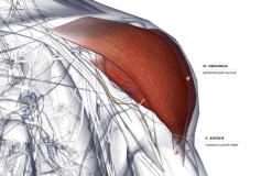 Дельтовидная мышца - спереди