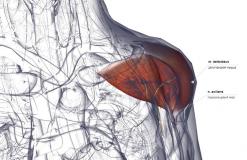 Дельтовидная мышца - спереди-медиально