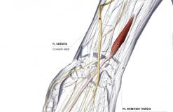 Разгибатель указательного пальца - сзади