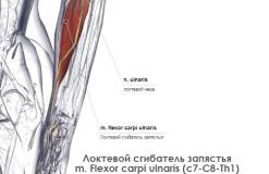 Локтевой сгибатель запястья - латерально