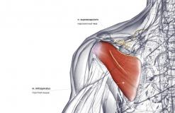 Подостная мышца - сзади