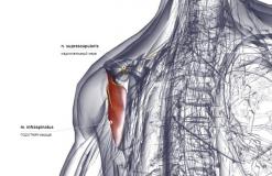 Подостная мышца - сзади-медиально