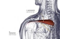 Надостная мышца - сзади-латерально (левая)