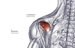 Надостная мышца - сзади-медиально (левая)