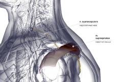 Надостная мышца - латерально (левая)