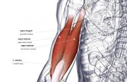 Трехглавая мышца плеча - сзади