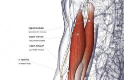 Трехглавая мышца плеча - сзади-латерально