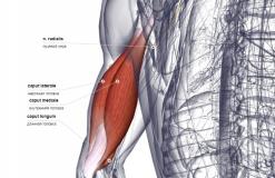 Трехглавая мышца плеча - сзади-медиально