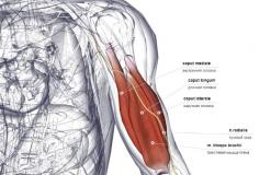 Трехглавая мышца плеча - спереди
