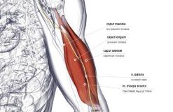 Трехглавая мышца плеча - спереди-латерально