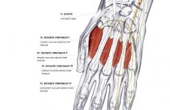 Тыльные межкостные мышцы кисти - сзади