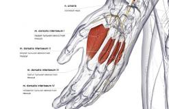 Тыльные межкостные мышцы кисти - сзади-латерально
