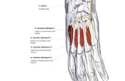 Тыльные межкостные мышцы кисти - сзади-медиально