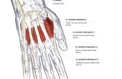 Тыльные межкостные мышцы кисти - спереди