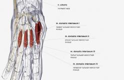 Тыльные межкостные мышцы кисти - спереди-латерально
