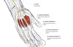 Тыльные межкостные мышцы кисти - спереди-медильно