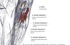 Тыльные межкостные мышцы кисти - латерально
