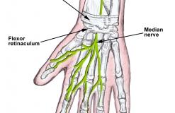 Срединный нерв - N. Medianus - Анатомия
