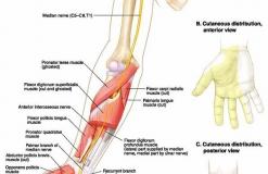 Срединный нерв - N. Medianus - Иннервация (двигательная и чувствительная)