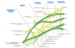 Срединный нерв - N. Medianus - Проводящие пути в плечевом сплетении
