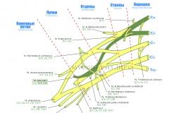Подкрыльцовый нерв - N. Axillaris - Проводящие пути в плечевом сплетении