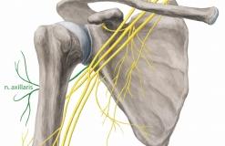 Подкрыльцовый нерв - N. Axillaris - Анатомия без мягких тканей