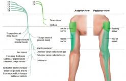 Наружный кожный нерв плеча - N. Cutaneus brachii lateralis - Иннервация (верхний и нижний)