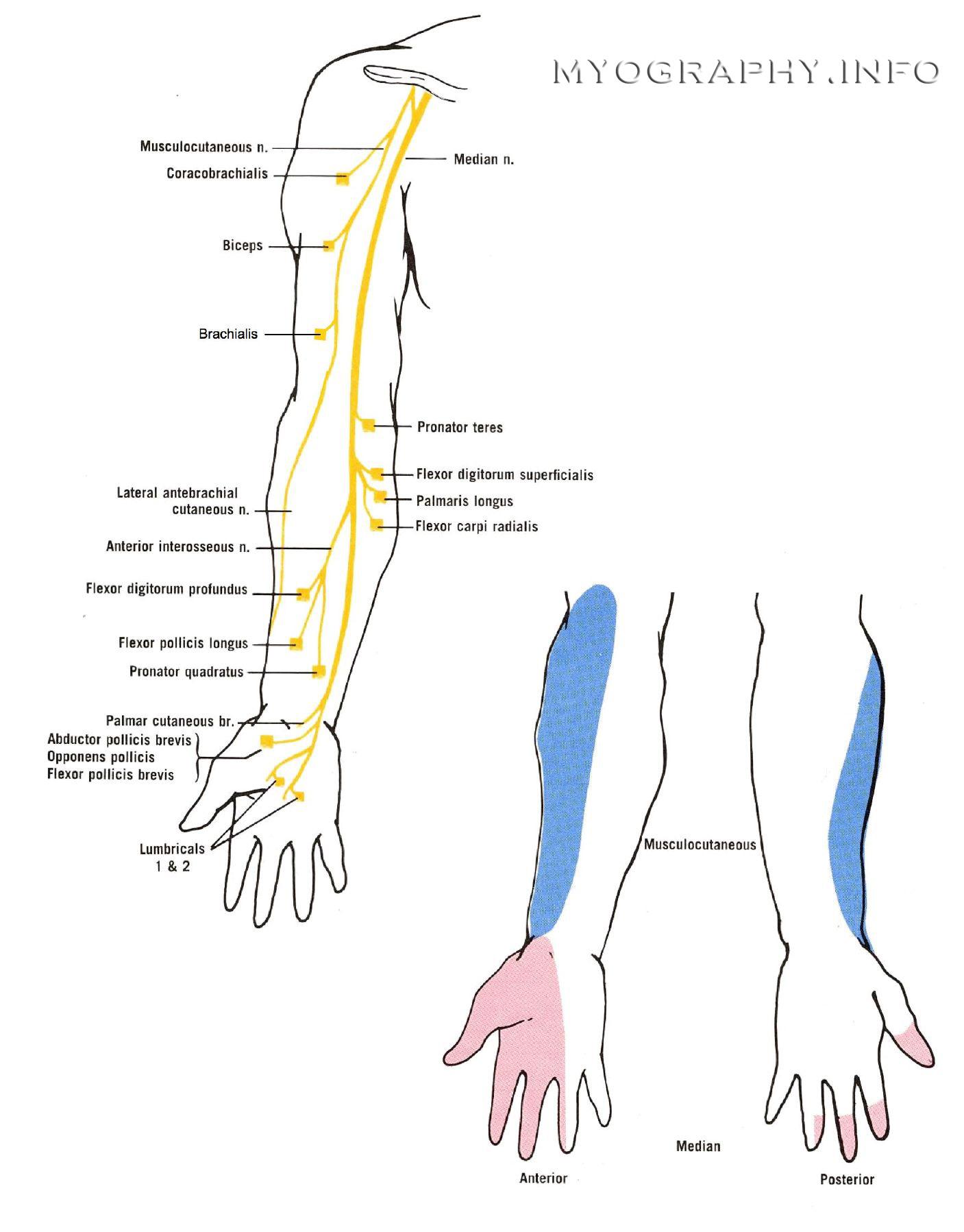 nervus radialis superficialis