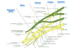 Кожномышечный нерв - N. Musculocutaneus - Проводящие пути в плечевом сплетении