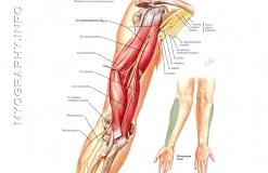 Кожномышечный нерв - N. Musculocutaneus - Иннервация и анатомия