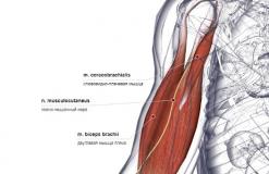 Мышцы, иннервируемые N. Musculocutaneus - сзади