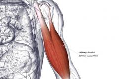 Мышцы, иннервируемые N. Musculocutaneus - спереди