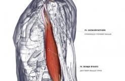Мышцы, иннервируемые N. Musculocutaneus - латерально