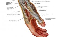 Лучевой нерв - N. Radialis - Анатомия