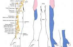 Лучевой нерв - N. Radialis - Двигательная и чувствительная иннервация